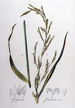 Glyceria fluitans — Flora Batava — Volume v8