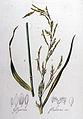 Glyceria fluitans — Flora Batava — Volume v8.jpg
