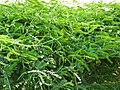Glycyrrhiza glabra-1-Eco park-kolkata-India.jpg