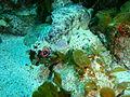 Glyptauchen panduratus Goblinfish P1021064.JPG