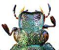 Gnorimus nobilis head.jpg