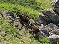 Goats on Lundy (4).jpg