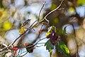 Golden-crowned kinglet (37299426950).jpg