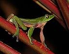 Golden-eyed tree frog (Agalychnis annae) 1.jpg