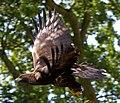 Golden Eagle 7a (6022361945).jpg