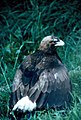 Golden eagle (26252581864).jpg
