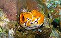 Golden sea squirt.jpg