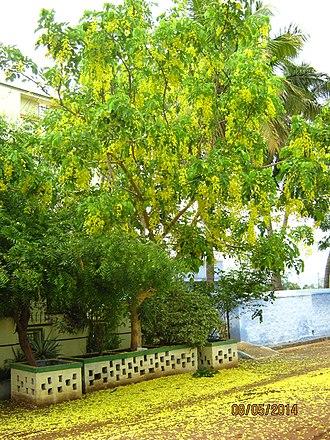 Cassia fistula - Golden shower tree at full bloom