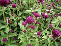 Gomphrena globosa from Lalbagh flower show Aug 2013 8115.JPG