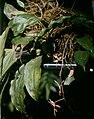 Gongora quinquenervis - pl 1.jpg