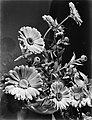 Goudsbloemen, Bestanddeelnr 190-1026.jpg