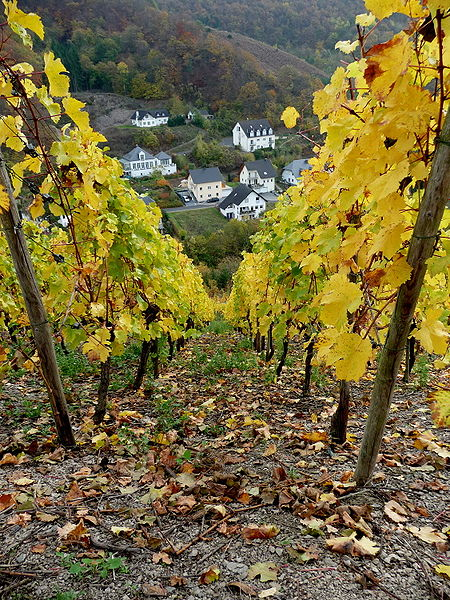File:Grape vines above Beilstein.jpg