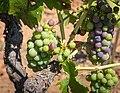 Grapes, Dry Creek Valley-7698.jpg
