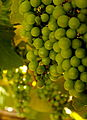 Grapes, ready for the hot summer months (5837475513).jpg