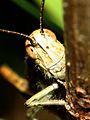 Grasshopper (2747125624).jpg