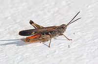 Grasshopper April 2008-3.jpg