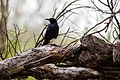 Great-tailed grackle (46859229622).jpg