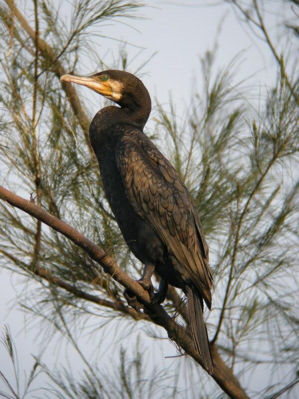 Great Cormorant Mai Po