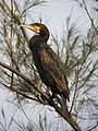 Great Cormorant Mai Po.jpg