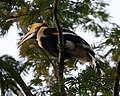 Great Hornbill. Buceros bicornis - Female - Flickr - Lip Kee.jpg