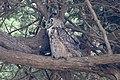 Great Horned Owl Mendoza B Ranch Pt Reyes CA 2018-10-04 12-48-43 (31893540788).jpg