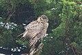 Great Horned Owl Pt Reyes CA 2018-10-02 12-17-48 (43255328760).jpg