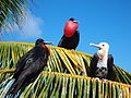 Great frigate birds (15323008116).jpg