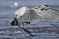 Great heron.BDT2449.jpg