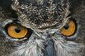 Great horned owl (6293628118).jpg