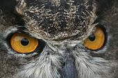 Great horned owl (6293628118).jpg