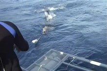 File:Great white shark and cage diving 2.wmv.ogv