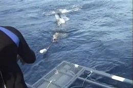 Bestand:Great white shark and cage diving 2.wmv.ogv