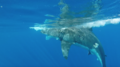 Great white shark at Isla Guadalupe, Mexico. Shark cage diving with the MV Horizon. Animal estimated at 11-12 feet (3.3 to 3.6 m) in length, age unknown.png