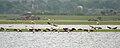 Greater Flamingoes (Phoenicopterus roseus) landing W IMG 9866.jpg