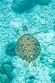 Green turtle Chelonia mydas (2407715915).jpg