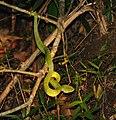 Green viper - Bako National Park - Sarawak - Borneo - Malaysia - panoramio.jpg