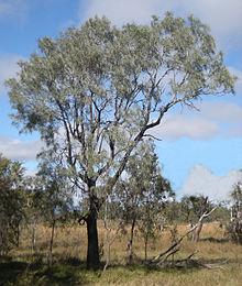 Grevillea tree.jpg striata