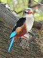 Grey-headed Kingfisher Halcyon leucocephala in Tanzania 2216 cropped Nevit.jpg