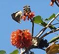 Greyia sutherlandii, bloeiwyses, Manie van der Schijff BT, e.jpg