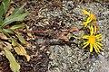 Grindelia integrifolia 2763.JPG