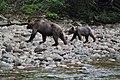 Grizzly on the Nekite River - panoramio - Jack Borno (5).jpg
