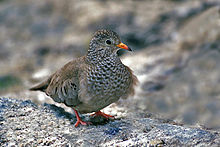 Ground Dove.jpg