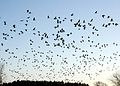 Grus canadensis -Michigan, USA -migrating-8.jpg
