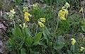 Gullviva (Primula veris ) 001.jpg