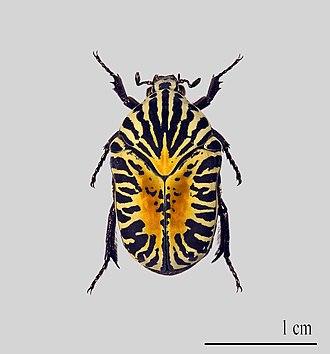 Flower chafer - Gymnetis stellata