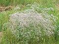 Gypsophila paniculata.jpg
