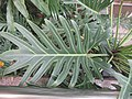 HK 灣仔 Wan Chai 胡忠大廈 Wu Chung House Rest Garden West wing October 2017 IX1 green plant fork leaf 羽裂蔓綠絨 Philodendron xanadu 05.jpg