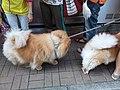 HK 西營盤 Sai Ying Pun 正街 Centre Street 第一街 First Street 龐物犬 pet dogs 鬆獅犬 Chow Chow 獅子狗 November 2018 SSG 04.jpg