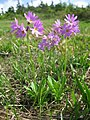 Hakusankozakura Primula cuneifolia var. hakusanensis.jpg