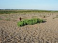 Half-buried Sueda - geograph.org.uk - 1027712.jpg